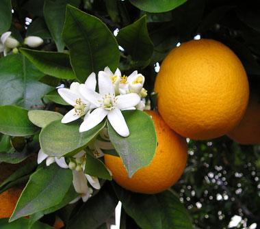 Florida State Flower